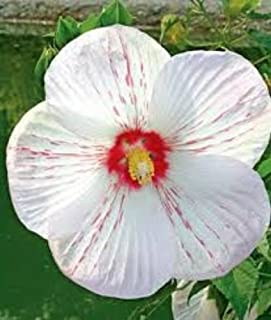 Amazoncom Hibiscus Shrubs Plants Seeds Bulbs Patio Lawn