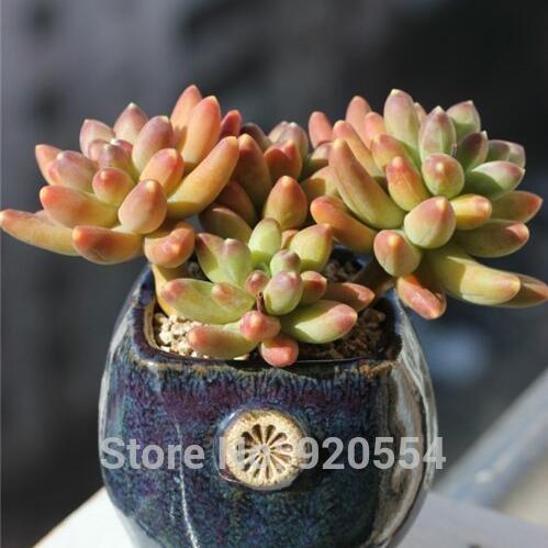 Les semences importées, 10pcs/lot plantes rares Succulent, pachypodium compactum graines jardin