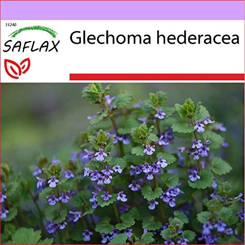 SAFLAX - Heilpflanzen - Gundermann/Gundelrebe - 75 Samen - Glechoma hederacea