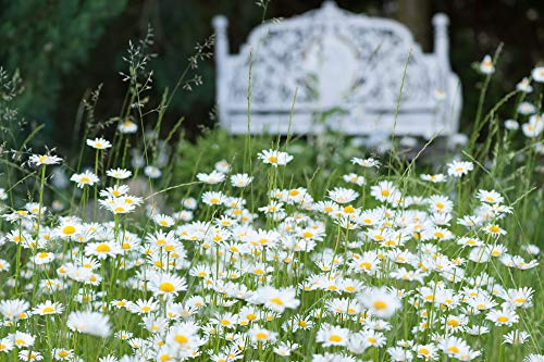 Magerwiesen-Margerite 1000 Samen (Leucanthemum vulgare) Oy eye daisy, Wildblume