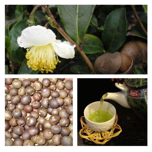 Japonés Camellia sinensis té verde crecer sus propias, 5 Semillas