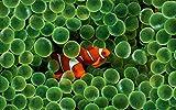 PosterDaddy Animals Apple Inc Clownfish Findet Nemo Poster
