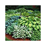 GARTHWAITE NURSERIES® : -UK Stockist : - 7 Hosta Pot Luck Plantain Lily Mixed Varieties Bare Root Perennial Plant Grade 1