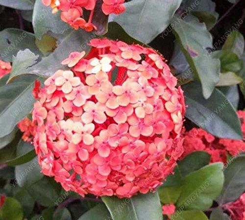 20pcs / pack Red Hydrangea planter des graines Mélangé Hydrangea Fleurs Accueil plantes graines de fleurs Bonsai Viburnum pour le jardin à la maison verte
