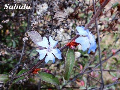 50 Pcs Arabis Alpina neige Graines de pointe extrême froid résistant jardin Bonsai Rare Belle plante et mur fleur Arabette 8