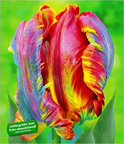 BALDUR-Garten Regenbogen-Tulpen 'Blumex®', 25 Zwiebeln