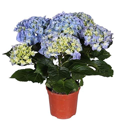 Pflanzen Kölle Hortensie, Hydrangea...