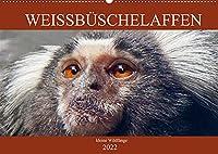 Weissbueschelaffen - kleine Wildfaenge (Wandkalender 2022 DIN A2 quer): Weissbueschelaeffchen - drollige Krallenaffen (Monatskalender, 14 Seiten )