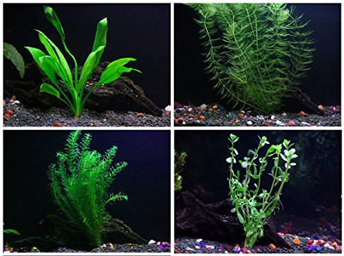 15 + Stems / 4 Species Live Aquarium Plants Package - Anacharis, Amazon, Hornwort and Moneywort - (10-50 Gallon Aquariums)