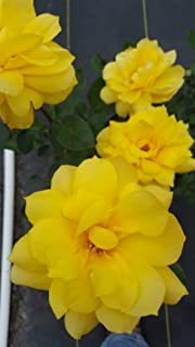 Best golden glow rose bush Reviews