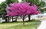 1 Eastern Redbud Tree (Cercis Canadensis) 2 to 3 feet Tall