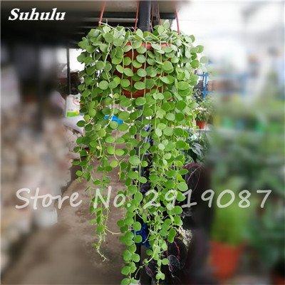 Pearl Chlorophytum Seeds 100 Pcs Hanging type de pot Chlorophytum Plantes fleuries Accueil Intérieur air frais Jardin résistant au froid 2