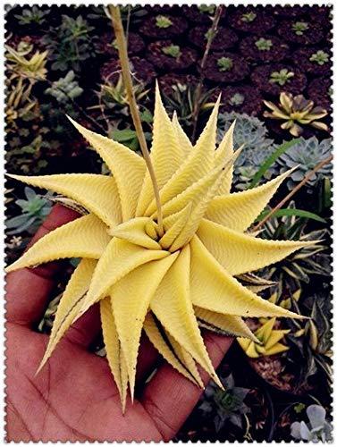 AGROBITS 100pcs Aloe bonsai Excellent mélange Houseplants grasse bonsai Aloe Vera Utilisation de beauté cosmétique plantes comestibles Bonsai plantation: 20
