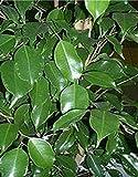 Portal Cool 20 semillas Ficus benjamina Fig árbol de la instalación Tropical Bonsai