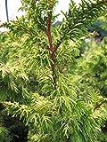 Baumschule Pflanzenvielfalt Chamaecyparis obtusa Tetragona Aurea - Zwerg Hinoki-Zypresse Tetragona Aurea
