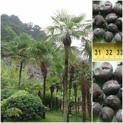 Trachycarpus fortunei Hanfpalme 20 x Palmensamen -20 C frosthart