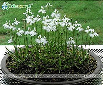 Die seltene Blume der Welt japanische Radiata-Samen für Garten u. Haus, weiße Tauben-Orchideen-Samen, Samen der weißen Blume, Samen 50PCS pflanzend