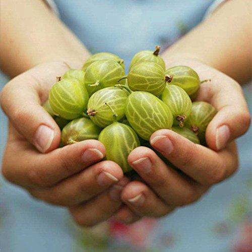 200 pcs/sac graines de fruits sucrés Mini Fruit Graines de fleurs graines bonsaï plantes alimentaires non-OGM pour le jardin de la maison 1