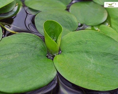 Aquarien- und Teich Schwimmpflanze - Froschbiss - Limnobium laevigatum - Garnelio Portion