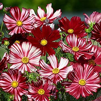 Shop Meeko Kings Seeds - Cosmos Velouette - 100 graines