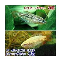 (熱帯魚)ゴールデンハニーレッド・ドワーフグラミー(3匹) + ピグミー・グラミー(3匹) 北海道航空便要保温