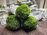Topbilliger Pflanzen Mooskugeln 3X - 4-5 cm - Der natürlicher Biofilter für`s Aquarium
