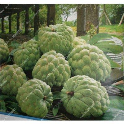 10pcs/sac de sucre rares Graines Bonsai Annona squamosa Plante en pot tête Fruit de Bouddha Custard Planta Garden Décor 8