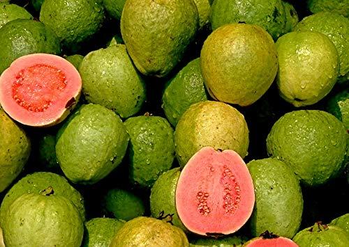100 Echte Guave Samen, Psidium guajava, Guava, leckeres Obst, Früchte nach 2-4 Jahren