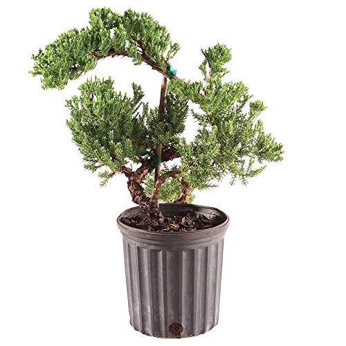 Brussel's Bonsai Live Green Mound Juniper Outdoor Bonsai Tree - 3 Years Old 4' to 6' Tall with Plastic Grower Pot, Small,
