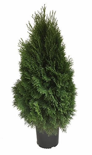 Premier Plant Solutions 10063 Emerald Green Arborvitae (Thuja), 3 Gallon