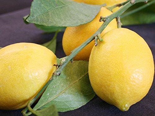 粂円 粂田昌哉作 ハウス 『レモン』 S5kg (約40個)