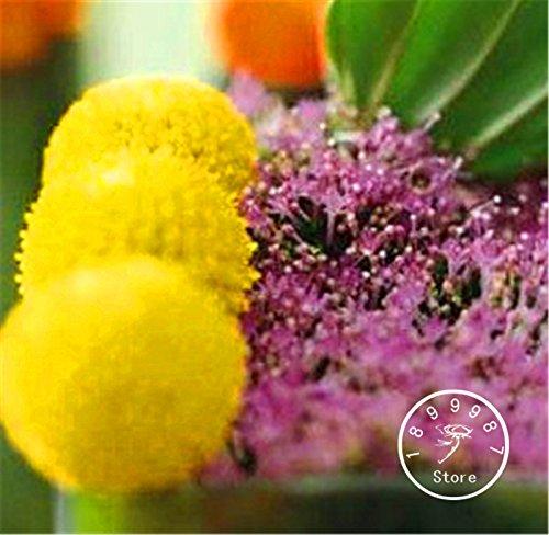 Promotion perte! 100 Pieces / Graines Lot Heirloom Craspedia Globosa Drumstick Perennial Billy Buttons Garden Yellow Flower