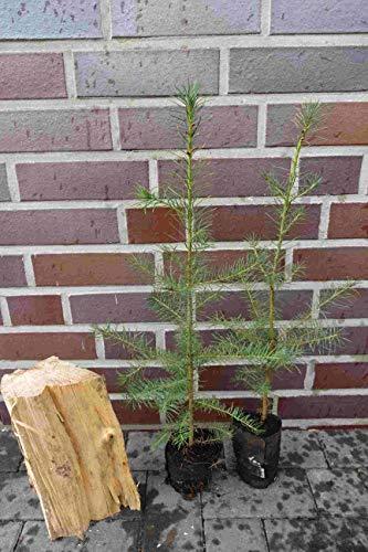 10st. Douglasien 40-70cm im Topf Forstpflanzen Pseudotsuga menziesii viridis Douglasie Nadelgehölze