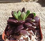 Anacampseros Purple Giant