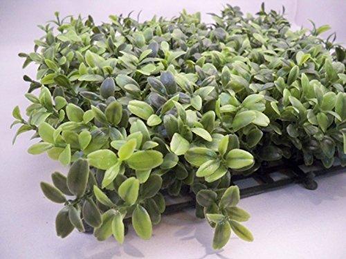 Buxus microphylla Sinica chinois buis - 50 graines Parfait Pour Couverture