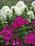 PHLOX Paniculata ~ blanc, rose clair, rose foncé et Mix Violet ~'Garden Phlox' 10+ Seeds vivaces