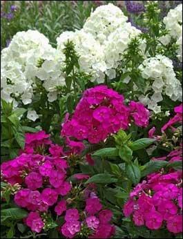 Phlox paniculata ~ Weiß, Hellrosa, dunkelrosa und lila Mix ~