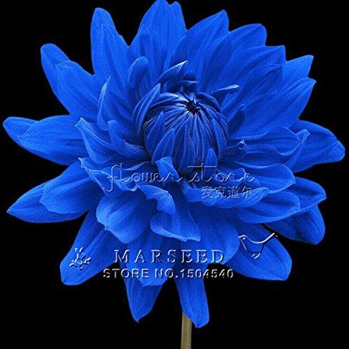 50 graines / semences belle couleur Dahlia Fleur, 25 types de sélection Belle Garden Bonsai Flower