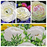 ラナンキュラス ハナキンポウゲ 花金鳳花 パティオ 成長しやすい 花の球根-20 球根,ホワイト