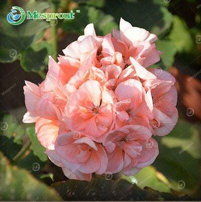 Promotion! 20 Pcs Géranium Vivace Semences Semences Graines de fleurs Pelargonium peltatum pour chambres Indoor 18 Couleurs disponibles