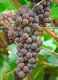 Pinot Grigio Wine Grape Vine - Plantable Year-Round!