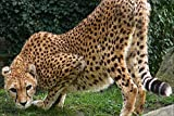 LHJOY puzles 500 Piezas Animal de Gato Grande Guepardo Regalo de cumpleaños 52x38cm