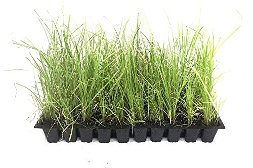 Sand Cord Grass - 20 Live Plants - Spartina Bakeri - Drought Tolerant Marsh Grass