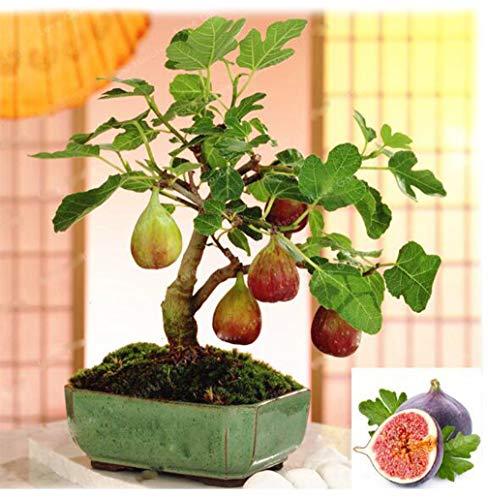 100pcs Rare Tropical Fig Seeds Fruit Tree Seeds Garden Mini Fig Tree Bonsai Plant Flores Rare Fruit Plantas for Home Planting
