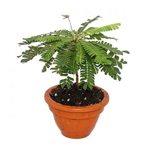 Exotenherz - Biophytum sensitivum - Südseepalme - 9cm Tontopf - Die Pflanze die sich bewegt - Ideal für Kinder - Mini-Palme