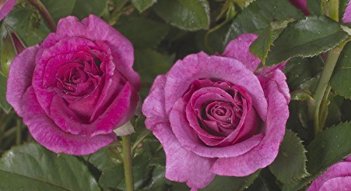 'Climbing Violette Parfumée' (R), Duft-Kletterrose in A-Qualität, Wurzelware