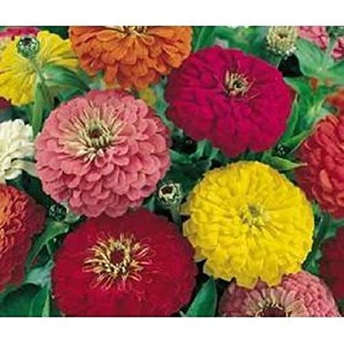 Zinnia Dahlia Flowered Mélange de Nice Flower Garden 100 graines