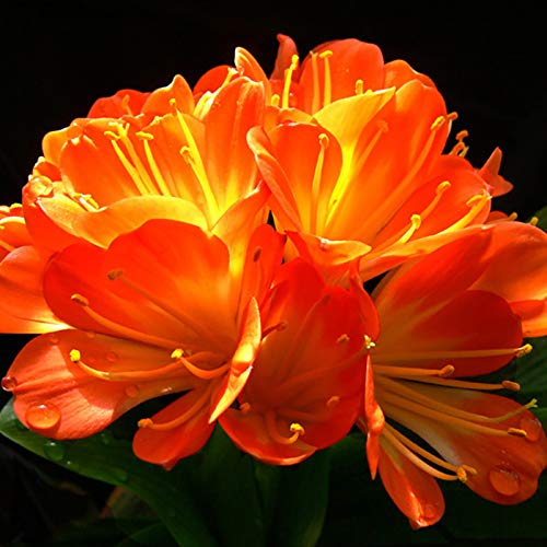Oce180anYLVUK Clivia Seeds, 100 Stück Beutel Mit Hoher Keimung Clivia Seeds Kaffir Lily Sämlinge Für Balkon Clivia Miniata Samen