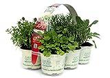 Zoom IMG-1 piante aromi in vaso 9