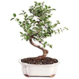 """Brussel's Bonsai Live Chinese Sweet Plum Indoor Bonsai Tree-5 Years Old 6"""" to 10"""" Tall with Decorative Container, Medium"""